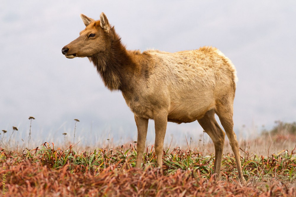 Elk of Wapiti (foto wikipedia)